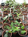 Rooted cuttings - Flickr - peganum.jpg