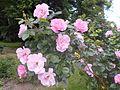 Rosa Pink Robusta 2016-05-31 2338.jpg