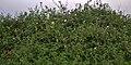Rosa clinophylla4.jpg