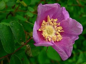 Rosa nutkana - Image: Rosa nutkana 07513