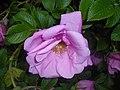 Rosa rugosa Adam Chodun 2016-05-31 2222.jpg