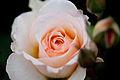 Rose, Moonsprite - Flickr - nekonomania (3).jpg