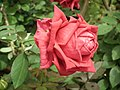 Rose from Lalbagh flower show Aug 2013 8549.JPG
