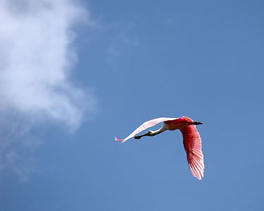 Roseate Spoonbill In flight Fort Myers Florida.jpg