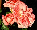 Roses, Dixon Park, Belfast (6) - geograph.org.uk - 1369218.jpg