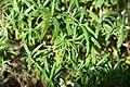 Rosmarinus officinalis 2zz.jpg