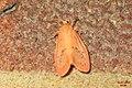 Rosy footman (FG) (23898011801).jpg