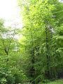 Rotbuche im Isseltal (Hoch-Weisel) 03.JPG