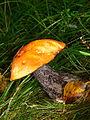 Rotkappe Heide- (9).jpg