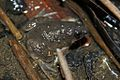 Round-tongued Floating Frog (Occidozyga martensii)9.jpg