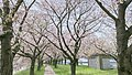 Row of cherry blossom trees-lined tunnel 20210401.jpg