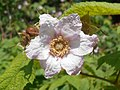 Rubus odoratus 2017-05-23 0536.jpg