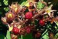 Rubus phoenicolasius J1.JPG