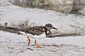 Ruddy Turnstone (6913364641).jpg
