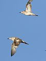 Ruff, Philomachus pugnax, at Marievale Nature Reserve, Gauteng, South Africa (29429174845).jpg