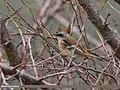 Rufous-backed Redstart (Phoenicurus erythronotus) (31040471651).jpg