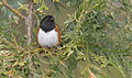 Rufous-sided Towhee, unknown location 1.jpg