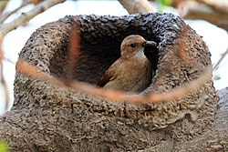 Rufous hornero (Red ovenbird)(Furnarius rufus) and nest.JPG