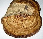 Ruhland, Grenzstr, gegenüber Hausnr. 13, Rötender Blätterwirrling vom Ast einer abgestorbenen Birke, Oberseite, 03.jpg