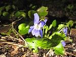 Ruhland, Grenzstr. 3, Duftveilchen im Garten, blau blühend, Frühling, 10.jpg