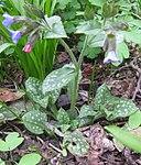 Ruhland, Grenzstr. 3, Geflecktes Lungenkraut, blühende Pflanze, Frühling, 03.jpg
