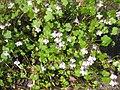 Ruhland, Grenzstr. 3, Mauer-Zimbelkraut im Garten, blühend, Frühling, 09.jpg