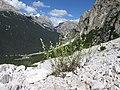 Rumex scutatus Cortina.jpg