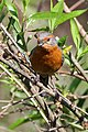 Rusty-browed Warbling-Finch (8077592723).jpg