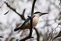 Sacred Kingfisher (Todiramphus sanctus) (8079616823).jpg