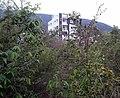 Sage-Leaved (Alangium salviifolium) trees with fruits at Bakkannapalem 01.jpg