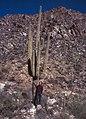 Saguaro National Park-16-Saguaro-1980-gje.jpg
