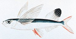 illustration of a typical flying fish body plan