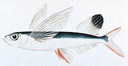 Sailfin flyingfish.jpg