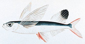 Flying fish - Sailfin flying-fish Parexocoetus brachypterus