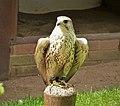 Saker Falcon. Falco cherrug (48439921767).jpg