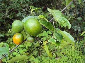 Salacia Plante Wikipédia