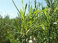 Salix viminalis 009.jpg