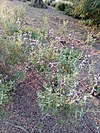 Salvia clevelandii 02.jpg