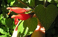 Salvia disjuncta, the Southern Mexican Sage. (12575916725).jpg