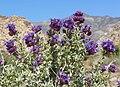 Salvia dorrii var dorrii 3.jpg
