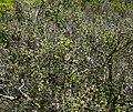 Salvia melissodora 1.jpg