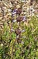 Salvia munzii 2.jpg