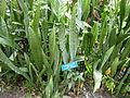 Sansevieria trifasciata 2.jpg