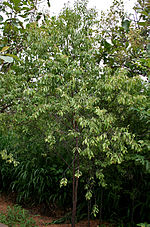 Santalum album (Chandan) in Hyderabad, AP W IMG 0027.jpg