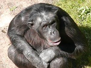 Furuviksparken - Santino the chimpanzee