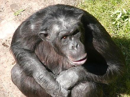 Julius (chimpanzee) - WikiVisually