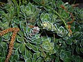 Saxifraga paniculata 2016-04-22 8763.JPG
