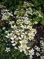 Saxifraga paniculata mill. 2007-06-02 (flower).jpg
