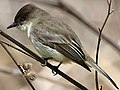 Sayornis phoebe-perching.jpg