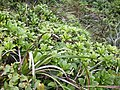 Scaevola glabra and other Hawaiian plants.jpg